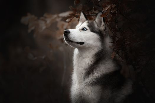 Фото бесплатно собаки, собака, сибирский хаски