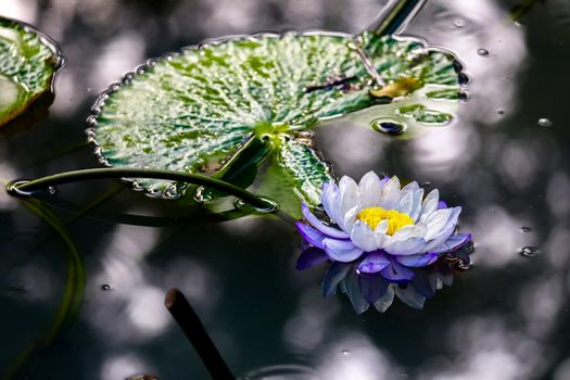Free download pond, water lily screensaver