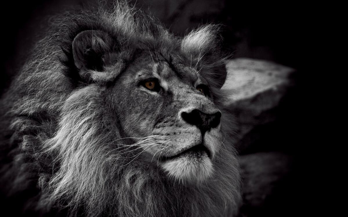Фото черный монохромный лев - бесплатные картинки на Fonwall