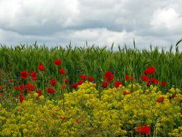 Фото бесплатно поле, колосья, небо, облака, цветы, природа