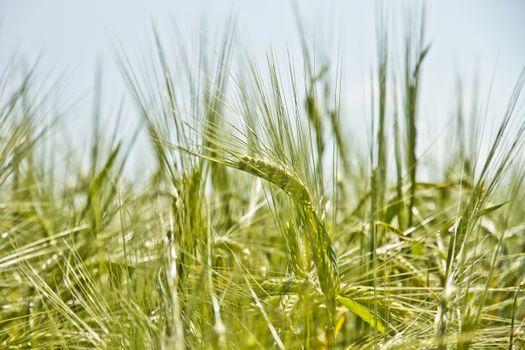Photo free wheat, green, earth
