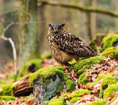 Photo free owl letite, leaves, earth