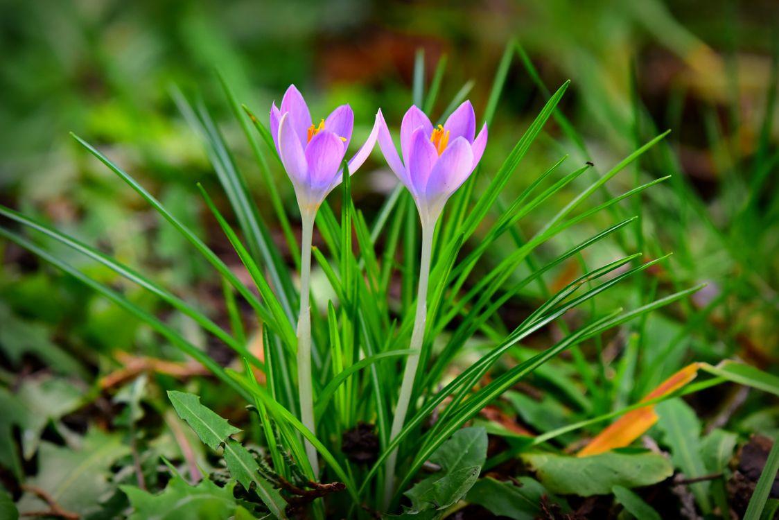 Фото крокус весенний цветок цветение - бесплатные картинки на Fonwall
