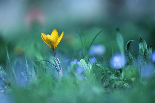 Фото бесплатно растения, крокус, крокусы