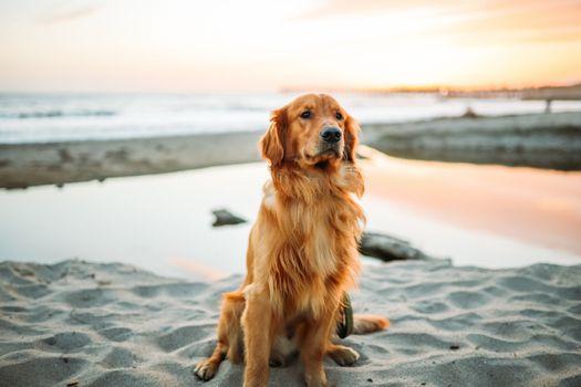 Photo free golden retriever, sand, sits