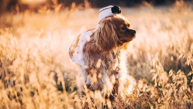 Заставки собака, пушистый, поля