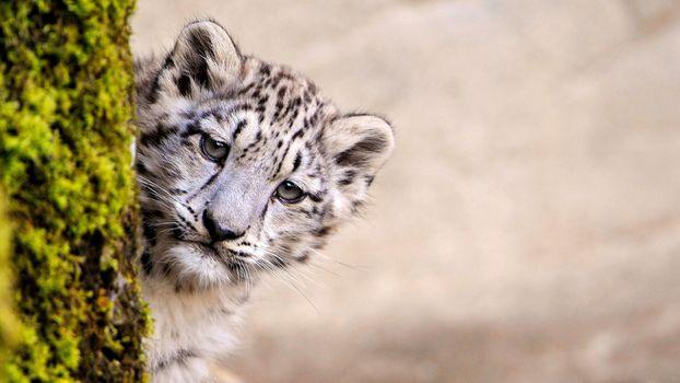 Photo free snow leopard, animals, predator