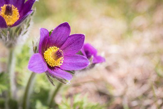Фото бесплатно цветок, фиолетовый, цветок пасты