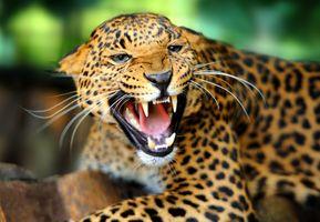 Заставки леопард,оскал,зубы,животное,хищник