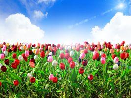 Бесплатные фото поле, цветы, тюльпаны