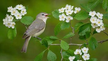 Фото бесплатно поющий виреон, птица, птица на ветке