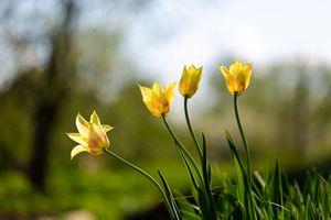 Тюльпаны жёлтые · бесплатное фото