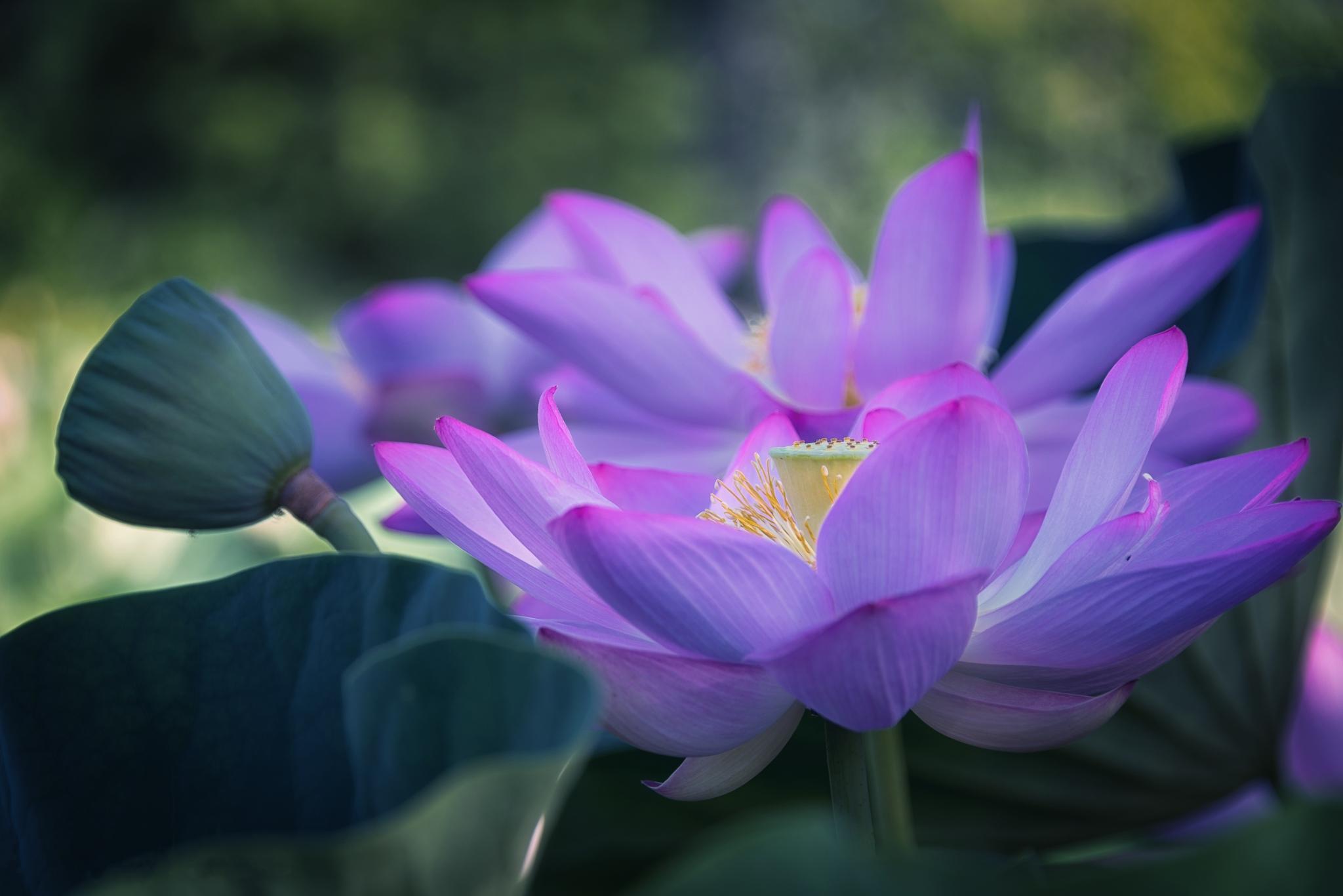 Purple Lotus Flower Free Screensaver