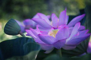 Фиолетовый цветок лотоса