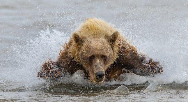 Фото бесплатно медведь, река, хищник