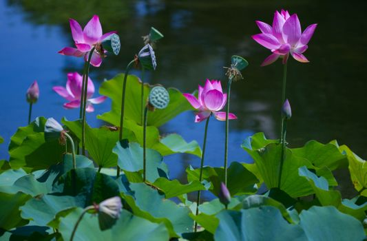 Фото бесплатно красивые цветы, лотосы, флора