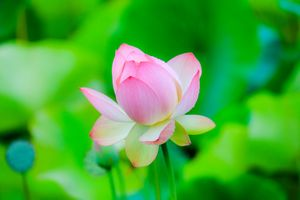 Бесплатные фото Lotus,лотос,лотосы,водоём,цветы,цветок,флора