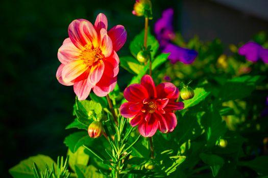 Бесплатные фото Dahlia,георгин,цветок,цветы,цветочный,цветочная композиция,флора,красивые,красивый,цвет,оригинальный,красочный