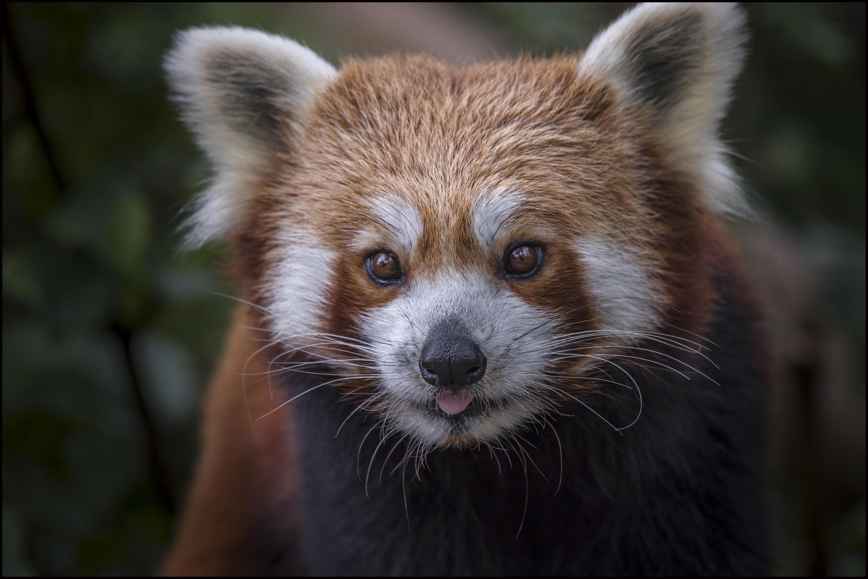 Обои Red Panda, Красная панда, животное