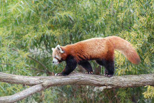 Фото бесплатно большая панда, ветви, животное