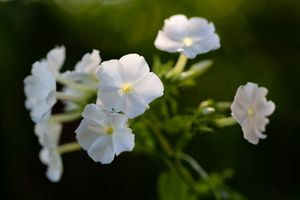 Белые флоксы · бесплатное фото