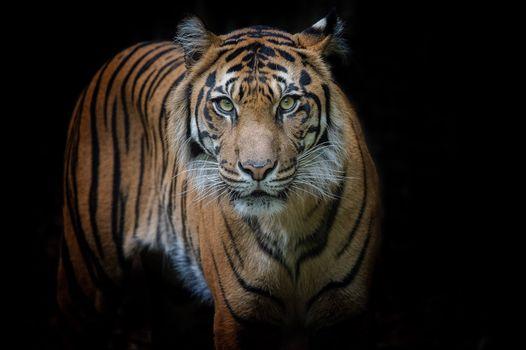 Photo free tiger, view, big cat
