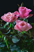 Обои на телефон розы, цветы