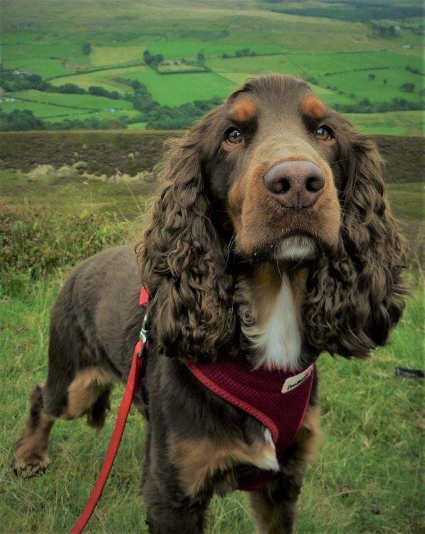 Фото бесплатно спаниель, собака, морда, spaniel, dog, muzzle - на рабочий стол