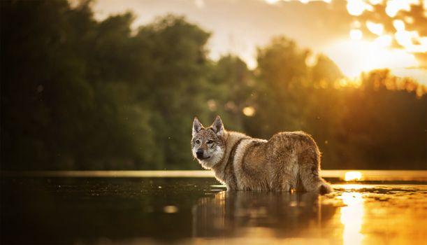 Волк переходит реку