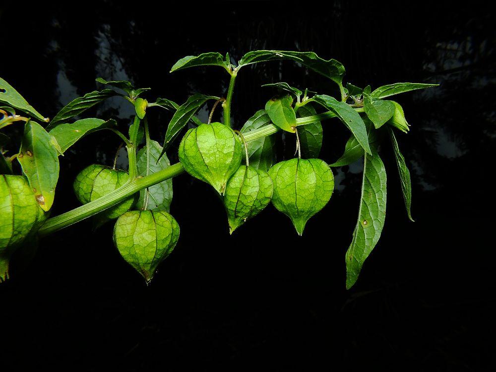 Фото бесплатно Canapum, Physalis angulata, растение, плоды, чёрный фон, флора, цветы