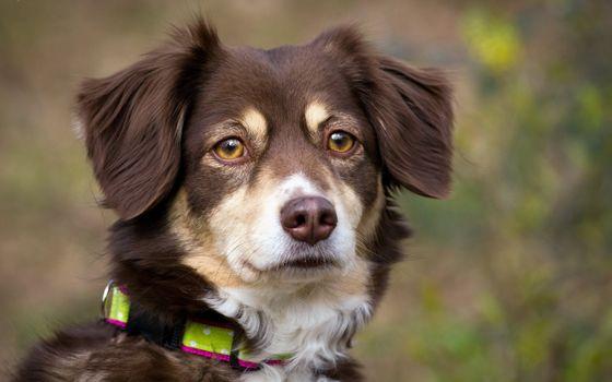 Photo free eyes, dog, Border collie