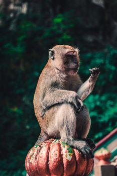 Обои макаки,обезьяны,животные,macaque,monkey,animal
