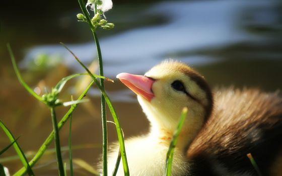 Photo free beak, duck, duckling