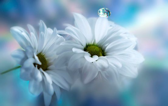 Photo free flowers, chrysanthemum, drop