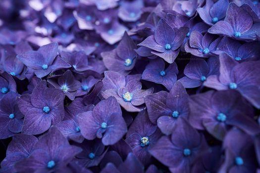Фото бесплатно гортензия, цветы, фиолетовый