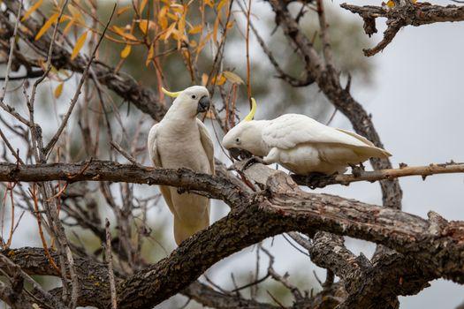 Фото бесплатно попугаи, белые, ветвь