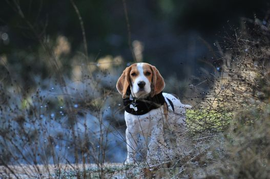 Photo free beagle, plants, standing