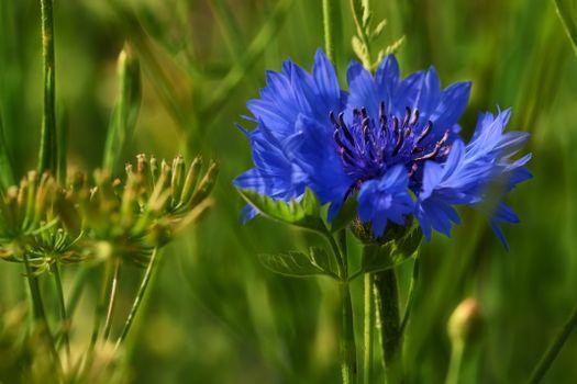 Фото бесплатно поле, василёк, цветок