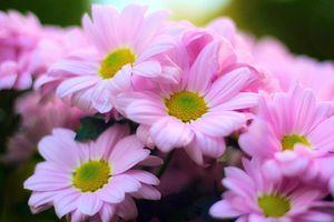 Фото бесплатно розовые хризантемы, цветок, цветы