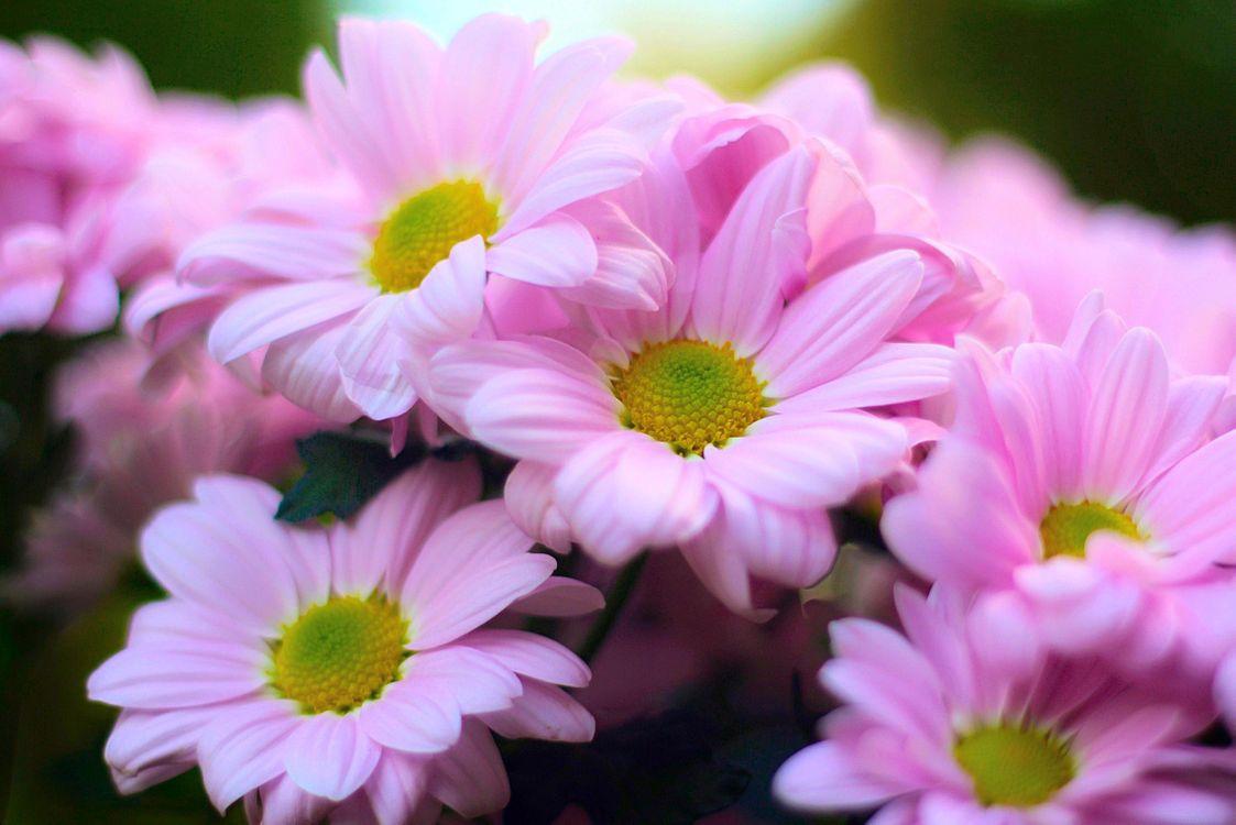 Фото бесплатно розовые хризантемы, цветок, цветы, цветочный, цветочная композиция, флора, красивые, красивый, цвет, оригинальный, красочный, букет, цветы