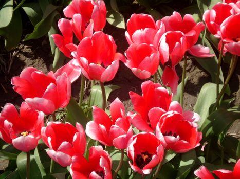 Photo free tulips, flowers, spring
