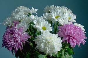 Фото бесплатно хризантемы, цветок, цветы