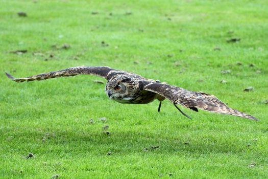 Photo free owl, fly, grass