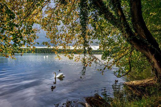 Фото бесплатно лебедь, деревья, осень