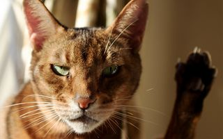 Фото бесплатно лицо, кошка, нос
