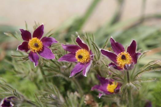 Photo free violet, colors, pulsatilla