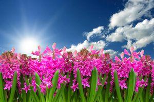 Фото бесплатно гиацинт, цветы, небо