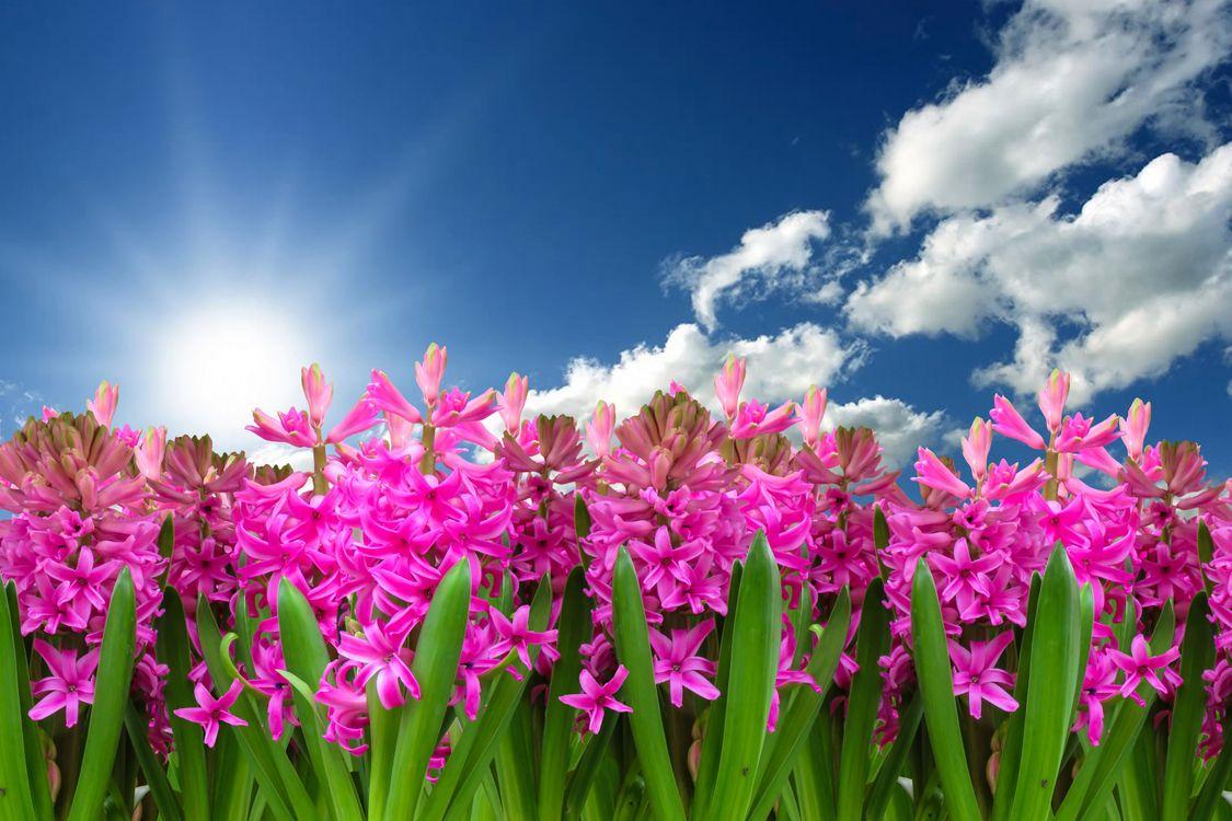 Фото бесплатно гиацинт, цветы, небо - на рабочий стол