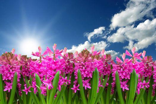Бесплатные фото гиацинт,цветы,небо,облака,флора,природа