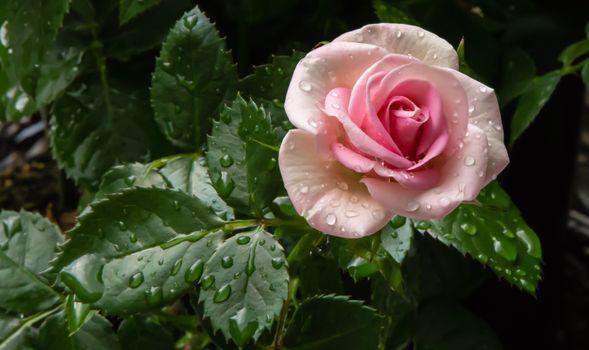 Фото бесплатно роза, цветок, роса